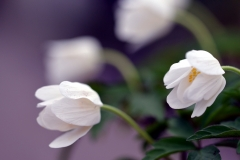 anemone-leeds-variety