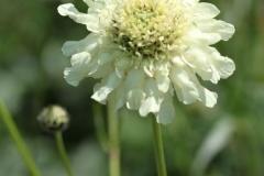 Cephalaria gigantea-02
