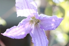 Clematis-Betty-Corning-02