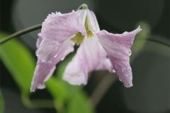 Clematis-integrifolia-rosea-02