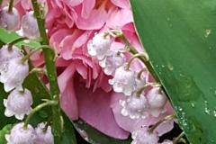 Paeonia pink convallaria