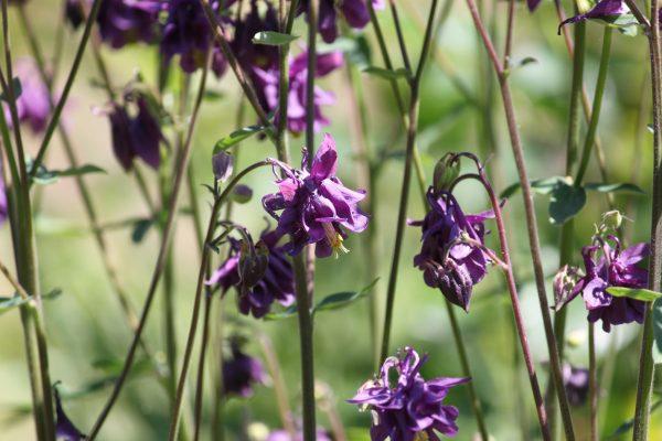 Aquilegia hybride paars 02