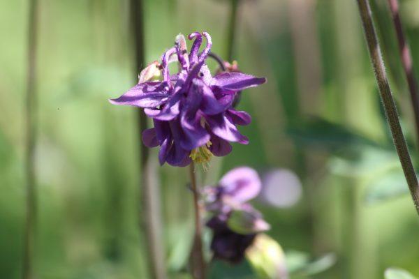 Aquilegia hybride paars