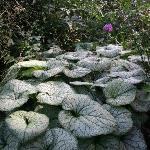 Brunnera macrophylla 'Henk'