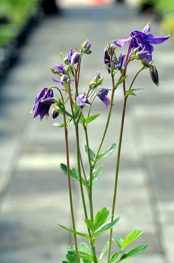 Caulophyllum robustum (Papoosewortel)