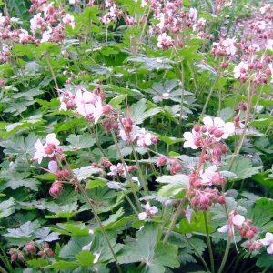 Geranium macrorrhyzum Spessar
