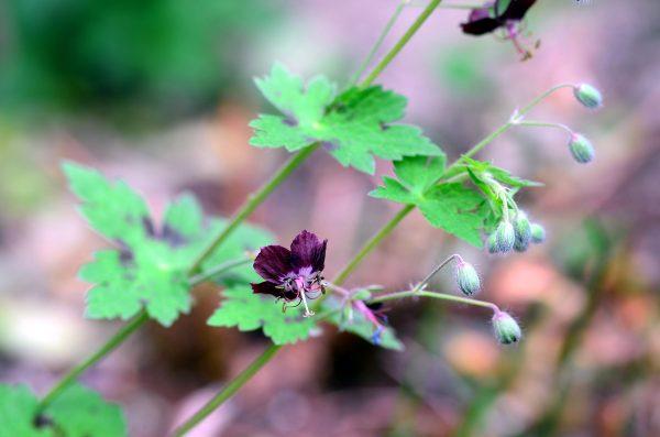 Geranium phaeum 'Tom Mitchell'