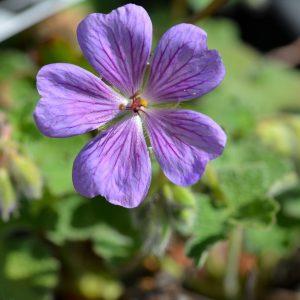 Geranium renardii 'Terre Franche'
