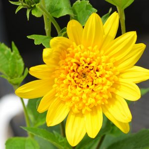 Helianthus decapetalus 'Capenoch Star