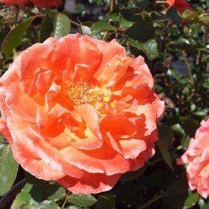 Rosa Orange meilove