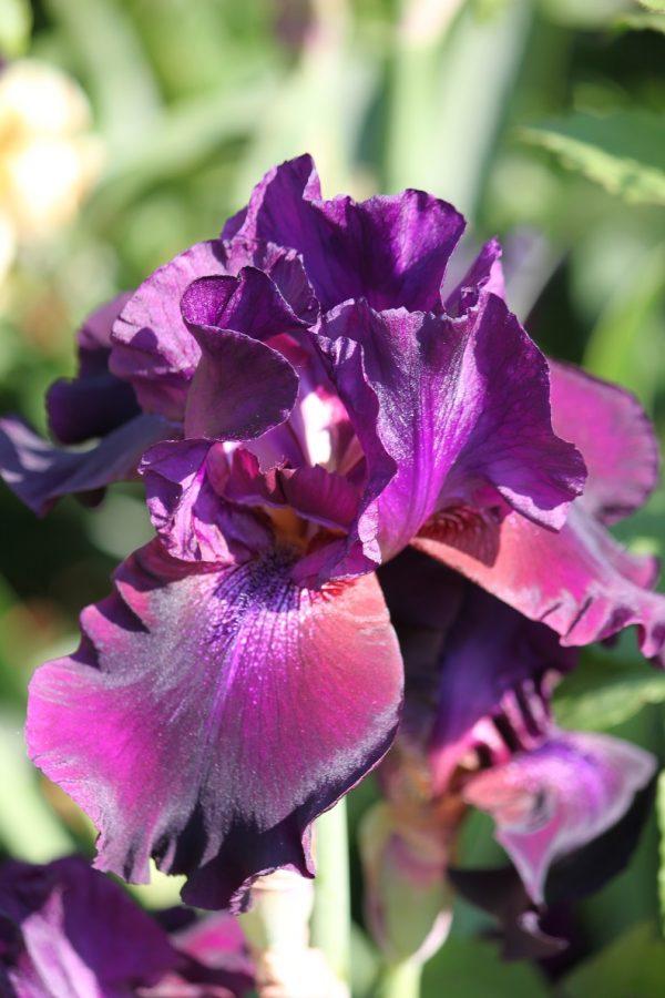 Iris germanica 'Superstition'