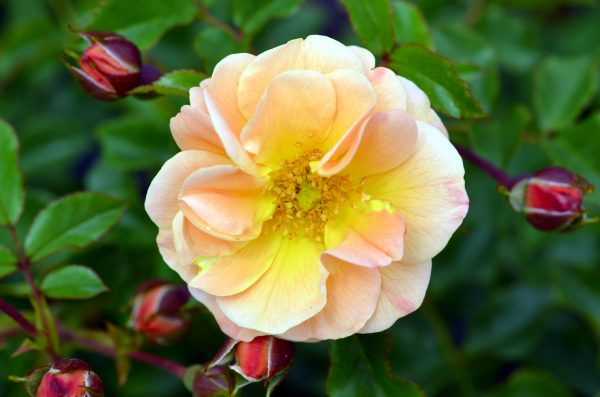 Rosa Sedana