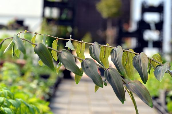 polygonatum cyrtonema