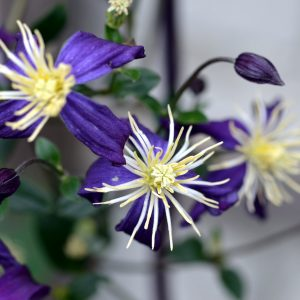 Clematis Aromatica