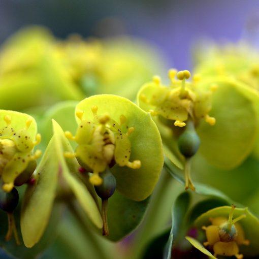 Euphorbia (Wolfsmelk)