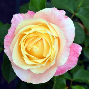 Rosa 'Apricot Queen Elizabeth'