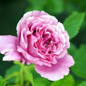 Rosa 'Scented Air'