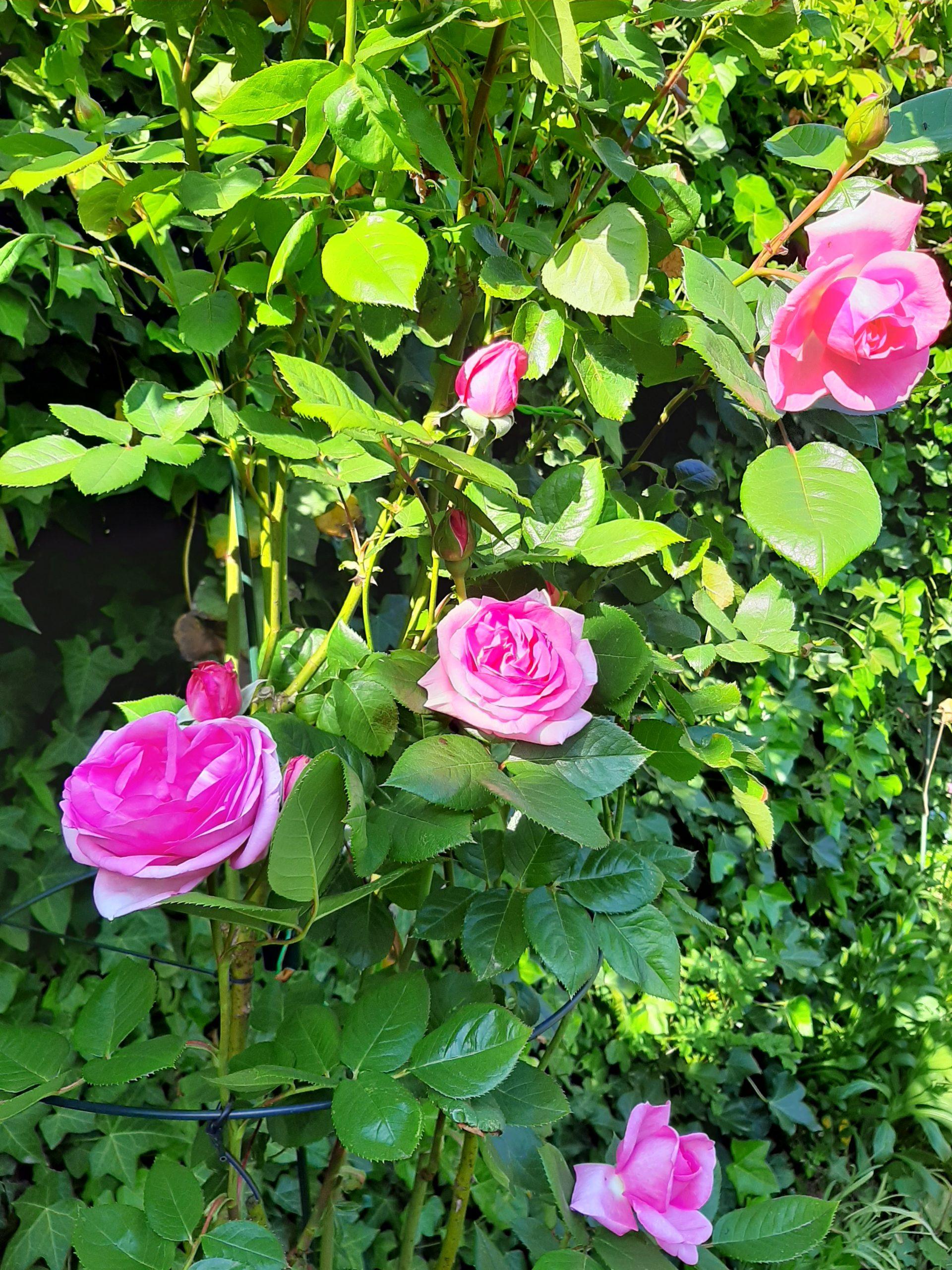 Roos Plantenkwekerij Marnis