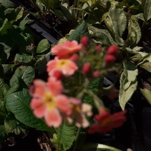 Primula × bulleesiana