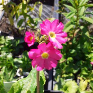 Primula grandiflora rosea